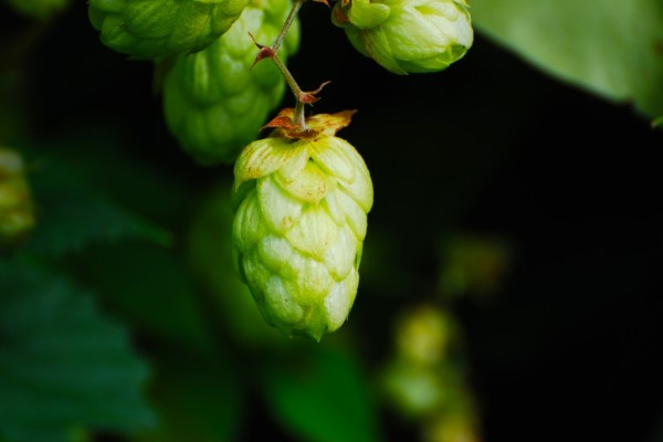 Při výrobě india pale ale dostávají přednost aromatické odrůdy chmele.